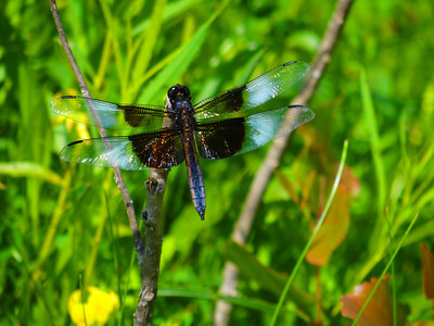 Widow skimmer dragonfly at a local park