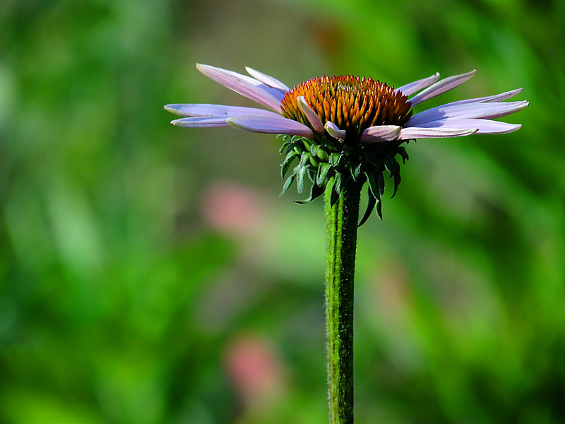 Coneflower basking in a Summer evening's sun near the Scioto River in Columbus, Ohio