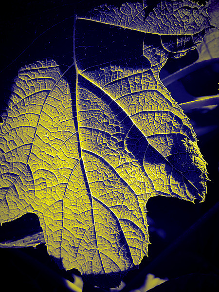 Highly textured hydrangea leaf in blue and yellow filter with heavy shadows.