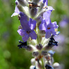 Purple lavender macro