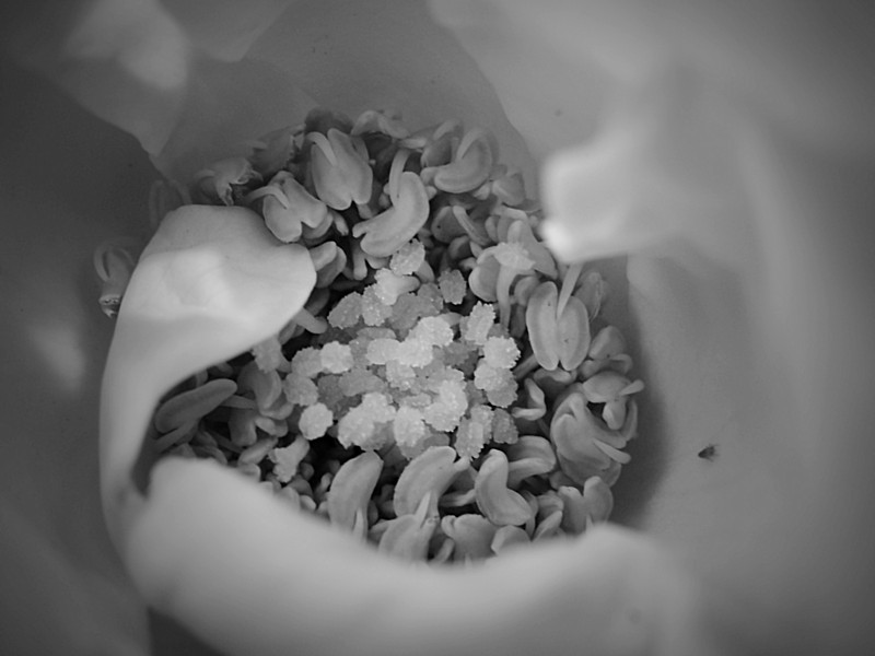 The Center of a Rose in monochrome.