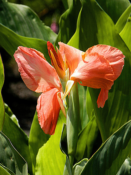Orange Canna flower and plant on a sunny Summer day