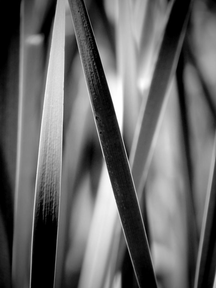 Through the cattail frond maze in monochrome.