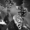 Wild grapes growing on a vine and hanging from a tree at a local park done in monochrome.