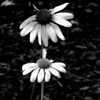 Lend me a hand. Two coneflowers done in monochrome.