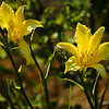Yellow daylilies growing in a local park.