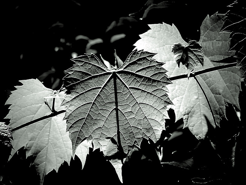 Backlit grape leaves hanging high in a tree done in monochrome to bring out the textural qualities of the leaves.