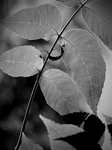 Soft curves of leaves and twig on a tree in a local park done in monochrome.