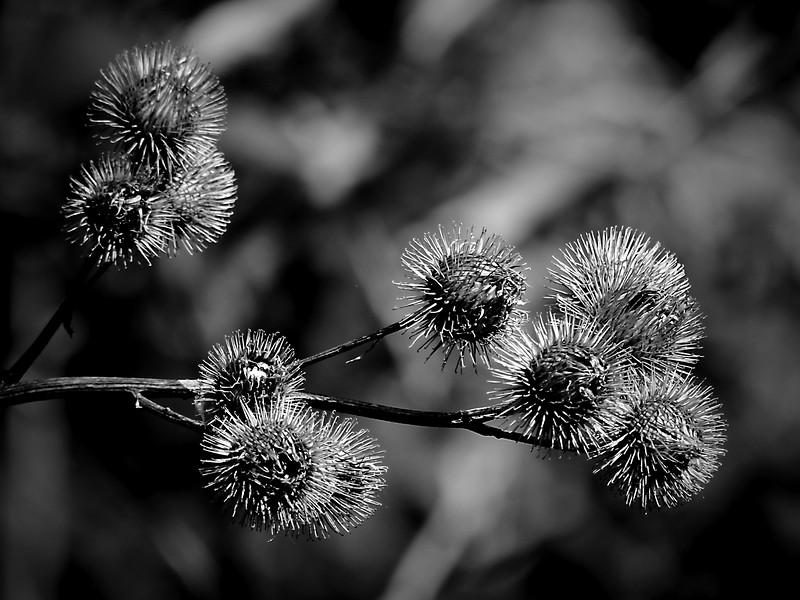 Monochromatic treatment to a prickly thistle-like plant at a local park.