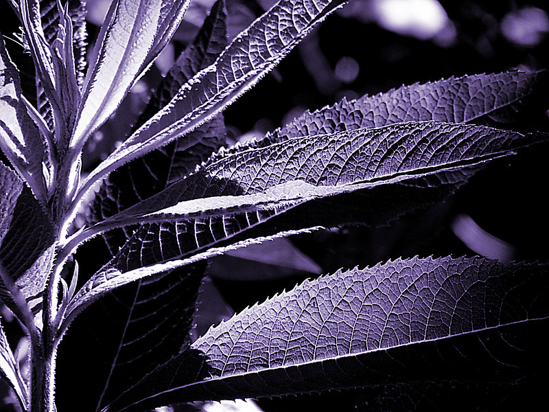 The purple version using a purple monochrome filter of a plant with highly textured long leaves in the bright Summer sun. Part of a series of edits of this photo.