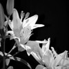 My pale pink asiatic lilies in bright sunlight that have been digitally altered to the monochromatic format.