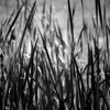 Monochrome cattails with field behind it.