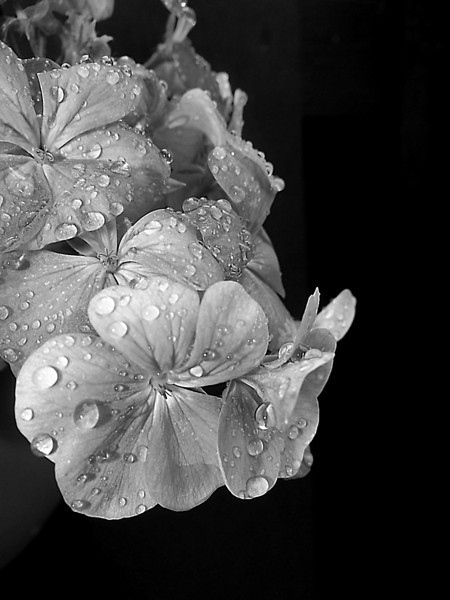 Monochrome treatment given to my pink geraniums in a basket hanging on my patio gate after a Summer storm.