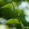 Green leaves from a beech tree in a local park.