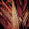 Highly textured pointed leaf plant found in a local park with a reddish-brown filter applied to bring out the texture of the leaves.