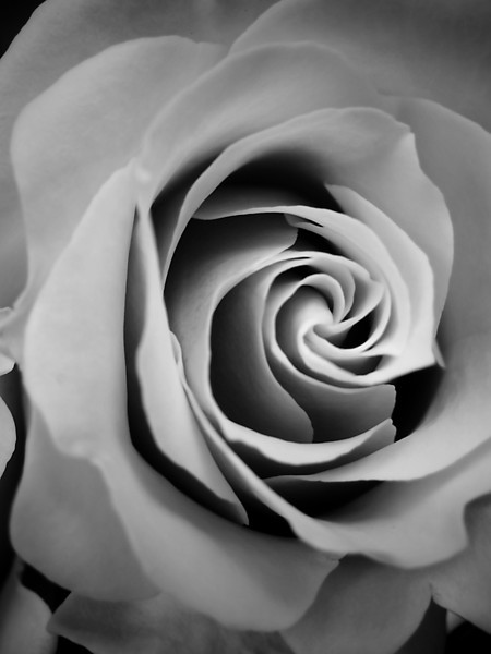 Rose in monochrome