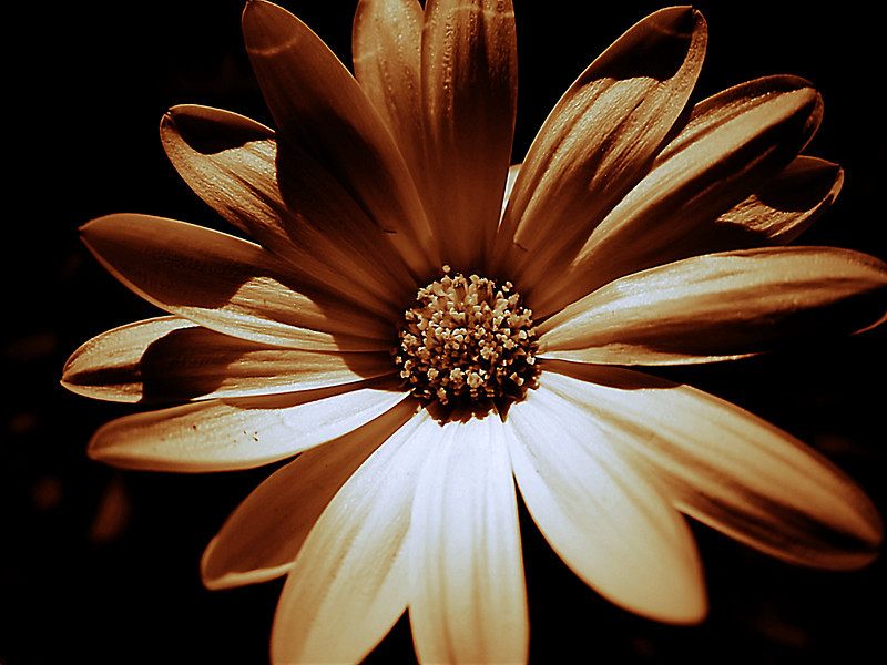 A yellow african daisy bloom shot in bright sunlight with a brown filter applied.