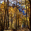 Fall Trees at June Lake California 4