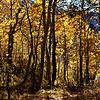 Fall Trees at June Lake California 3