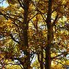 Fall Trees at June Lake California