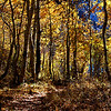 Fall Trees at June Lake California 2