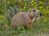 Prairie Dog -  Badlands South dakota
