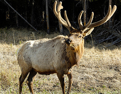 Bull Elk in yellowstone National Park.