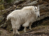Mountain Goat in Mount Rushmore Park