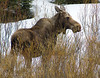 Cow Moose in the Rocky Mountains.