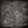 schlipf bur oak_spring