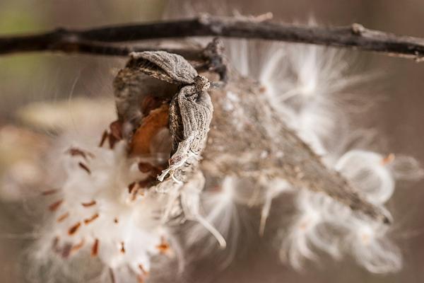 milkweed11_04_05