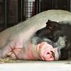 Kadoorie Farm, Pig