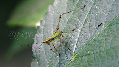 Fork-tailed Bush Katydid (Nymph)