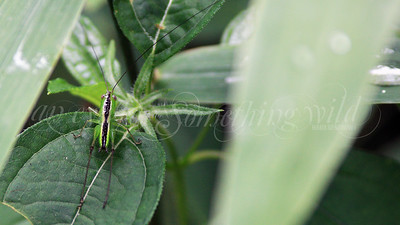 Meadow Katydid (Nymph)