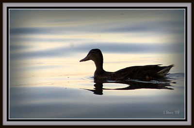 2008 - Duck on Lake Winnebago in Neenah