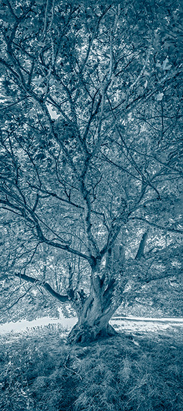 Orcas Island Maple_cyanotype