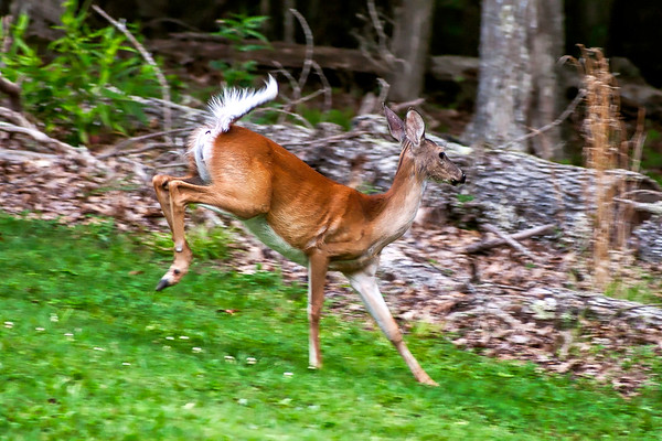 Whitetail Deer - Carters Caves State Resort Park