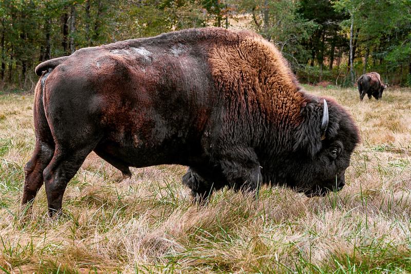 Elk and Bison Prairie - Land Between The Lakes