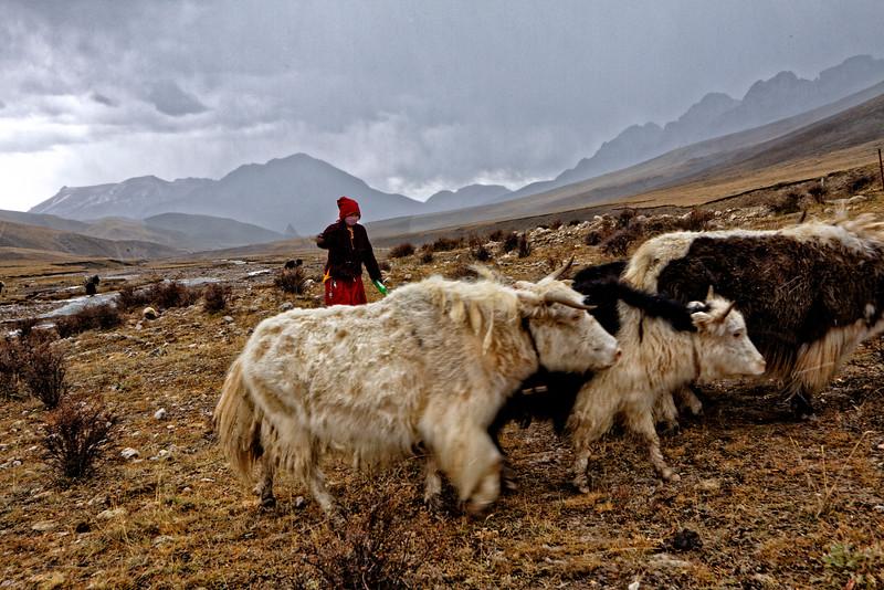 Nangchen Nomad Yaks