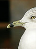 Profile of a Seagull<br /> Panasonic FZ10<br /> December 31, 2003