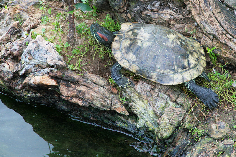 Kowloon Park, Turtle