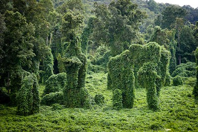 Trees covered in kudzu make interesting shapes. This is now a green grass pasture with the trees  in full leaf without kudzu to restrict their growth.!