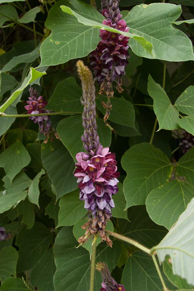 Kudzu flower with the seed pods beginning to grow at the base of the flower.