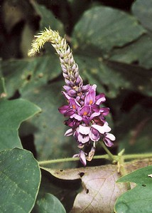 The kudzu flowers  bloom in midsummer. Most are lavender and have a sweet smell.