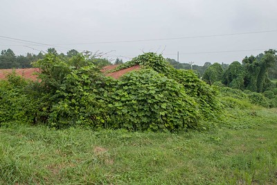 Throughout north Georgia unused barns are often covered with kudzu.