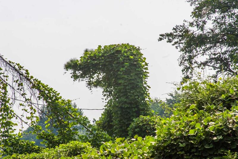 Kudzu shape on Old Hwy 441 north of Clarksville, Ga.