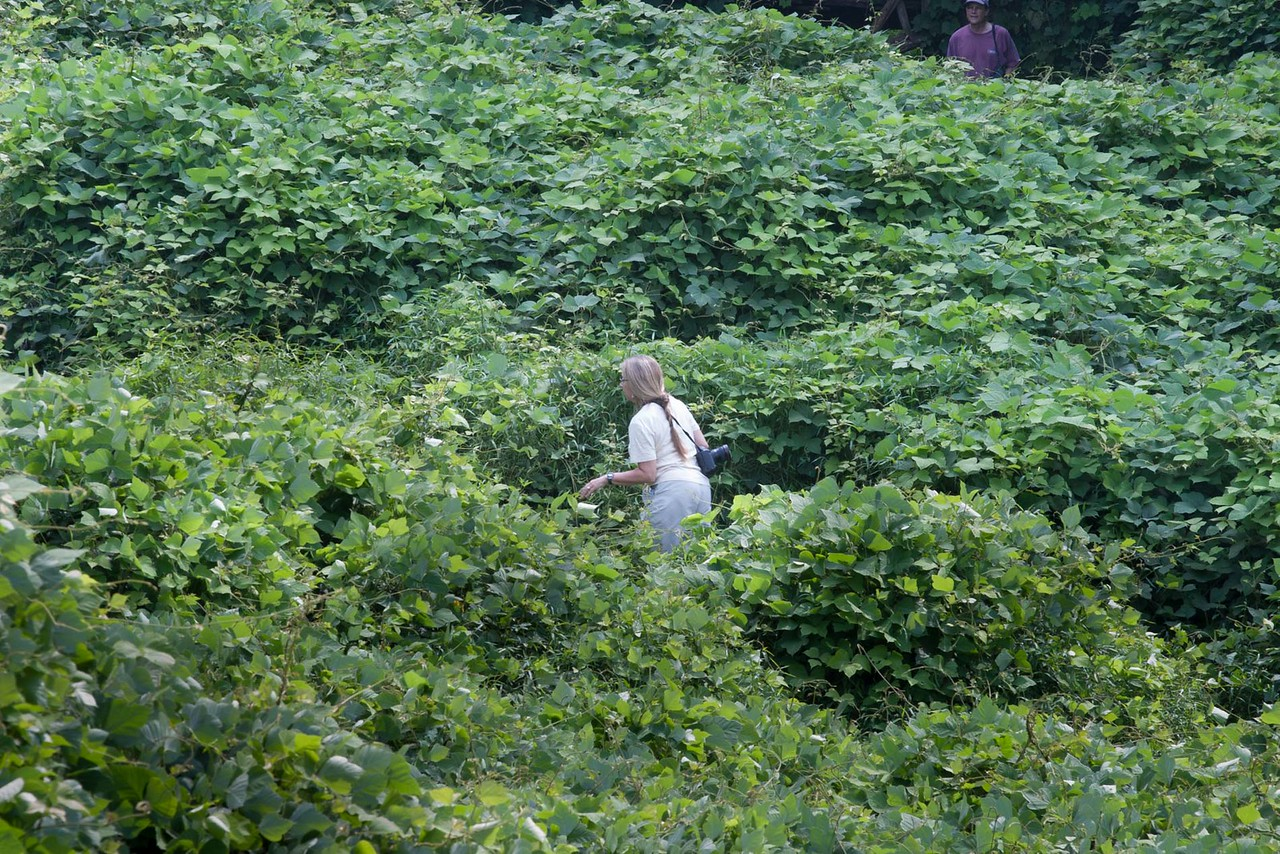 Brave photographers wandering through the kudzu to get the picture.