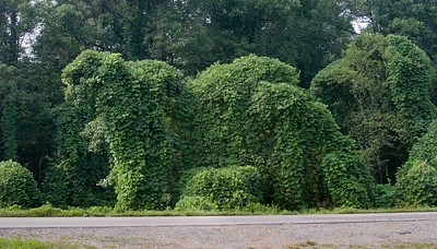 Bushes covered in kudzu sometimes take on the shape of animals.
