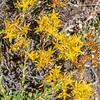 Broadleaf Stonecrop - Sedum spathulifolium