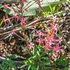 Slenderleaf Skyrocket -  Ipomopsis tenuifolia